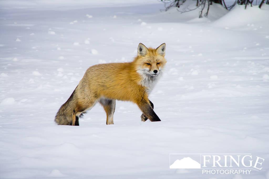 Fox Stride