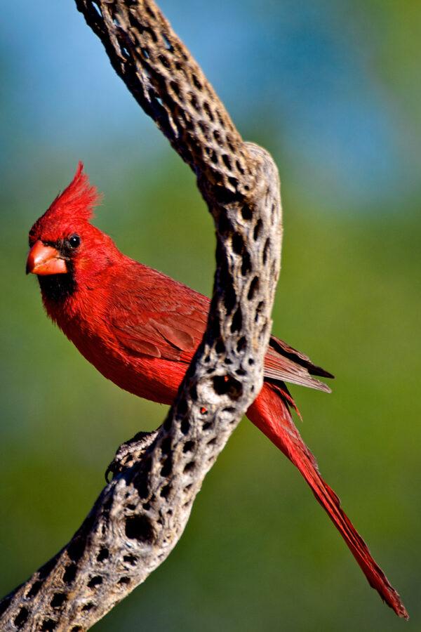 Cholla Cardinal