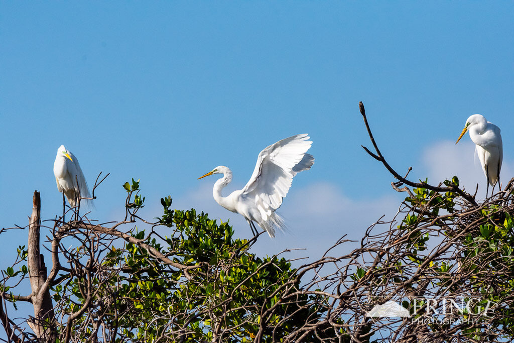 Egrets flit about their rookery in Everglades National Park
