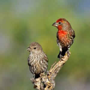 Finch Duo