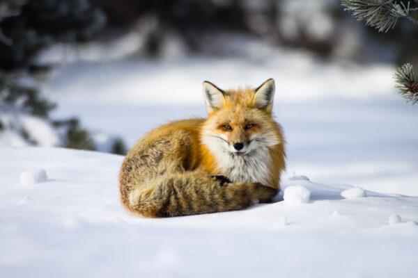 Fox Curl