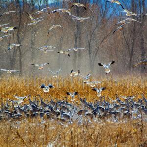 Geese Drop-In