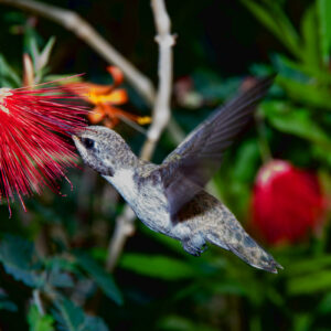 Hummingbird Snack