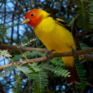 Tanager Look