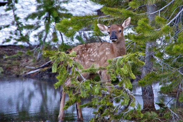 Welcome, Elk
