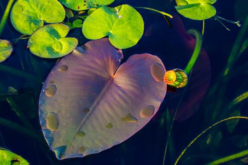 Everglade's Leaf