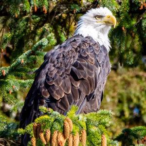 Intense Eagle